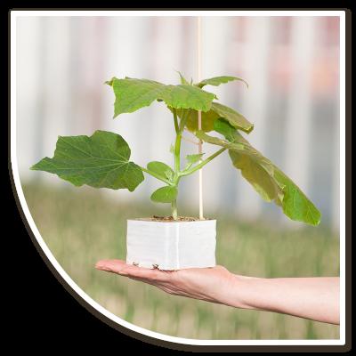 Komkommerplant in steenwolpot op hand, Plantenkwekerij Globe Plant
