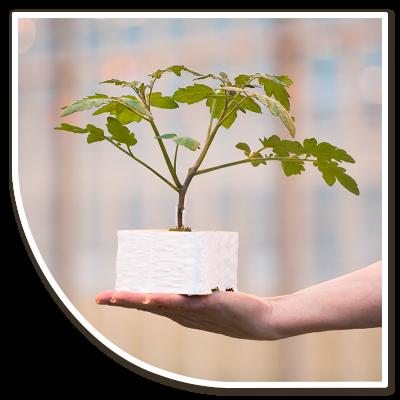 Groenteplanten: Tomaat in steenwolpot op hand