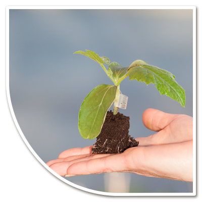 Kleine komkommerplant, algemene voorwaarden
