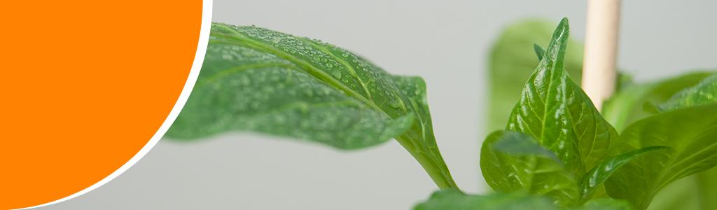 Paprika plant groene energie