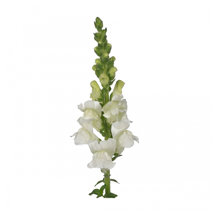 Antirrhinum Opus Fresh White