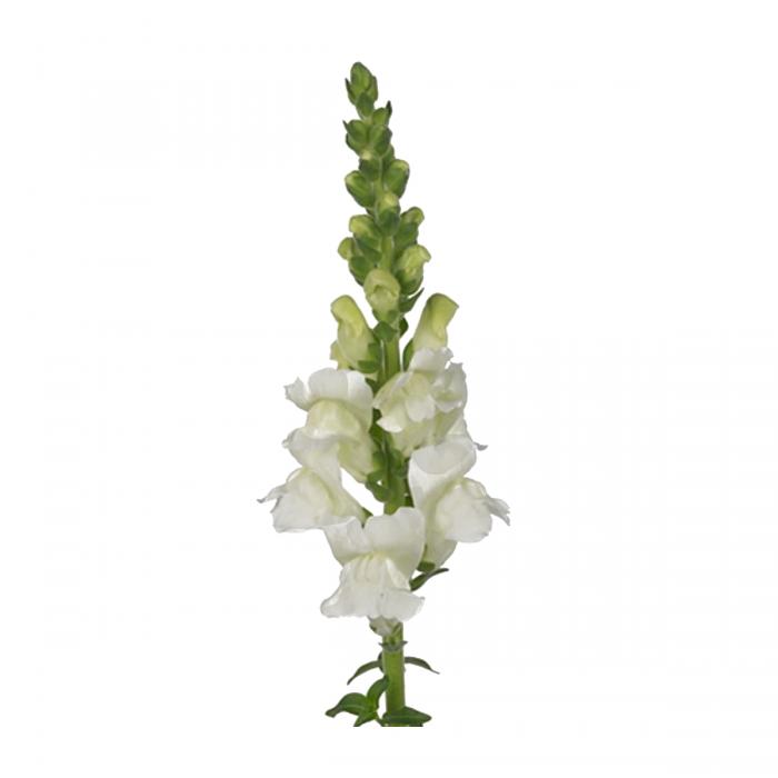Antirrhinum Opus Fresh White