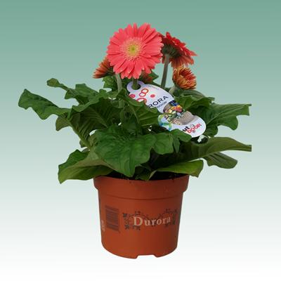 Solo Plant Gerbera Durora 12cm